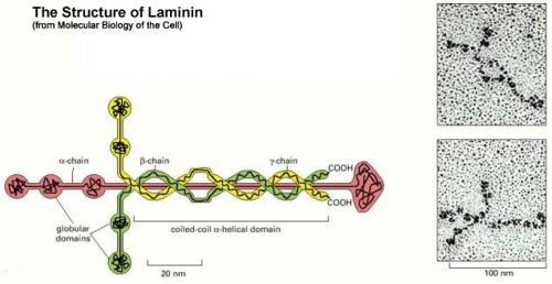 Laminin