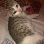 Meshach-kitten
